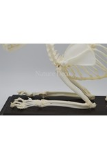 . Katten skelet in box