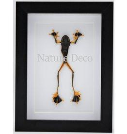 Nature Deco Kikker (RhacophorusRheinwardti) man in luxe 3D lijst