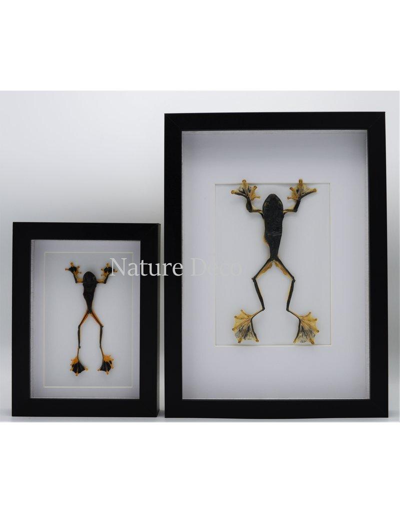 Nature Deco Frog (Rhacophorus Rheinwardti) male in luxury 3D frame 20,3 x 15,3cm