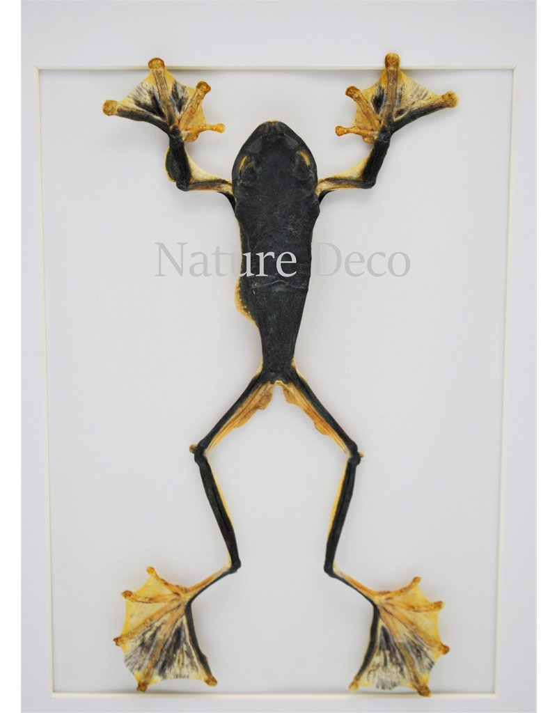 Nature Deco Kikker (RhacophorusRheinwardti) vrouw in luxe 3D lijst 32x 23,5cm