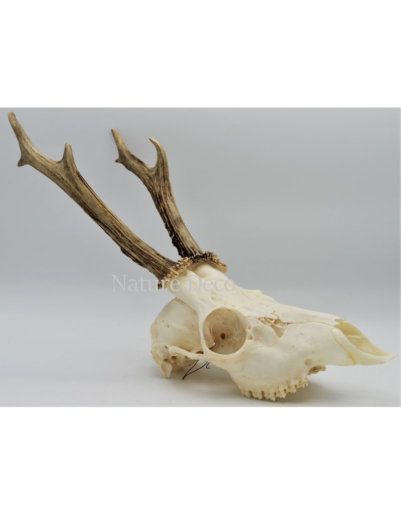 . Ree schedel met gewei