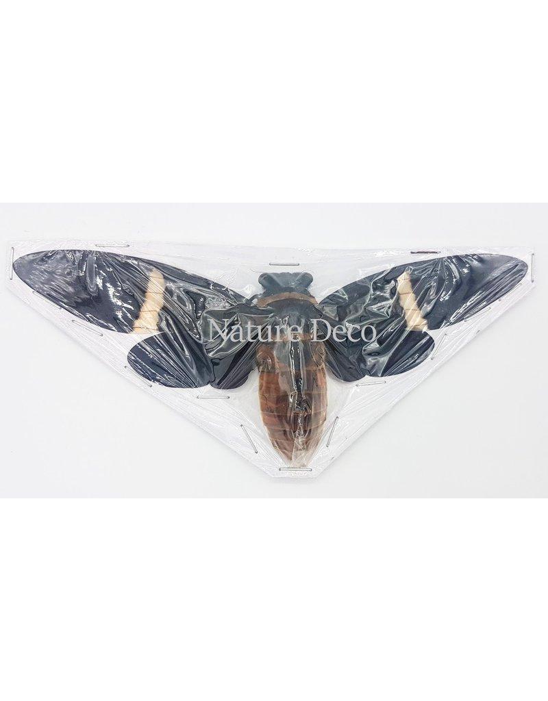 . (on)geprepareerde Toseana Fasciata (cicade)