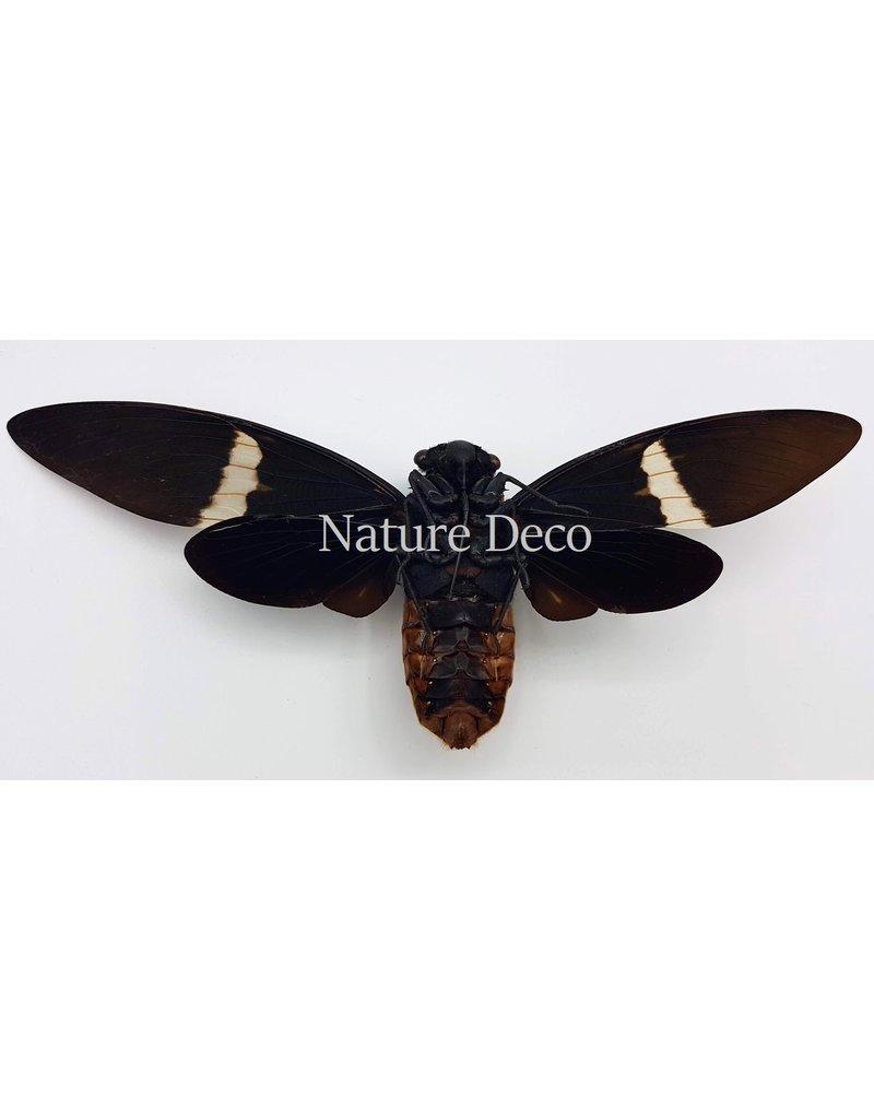 . (Un)mounted Toseana Fasciata (cicada)