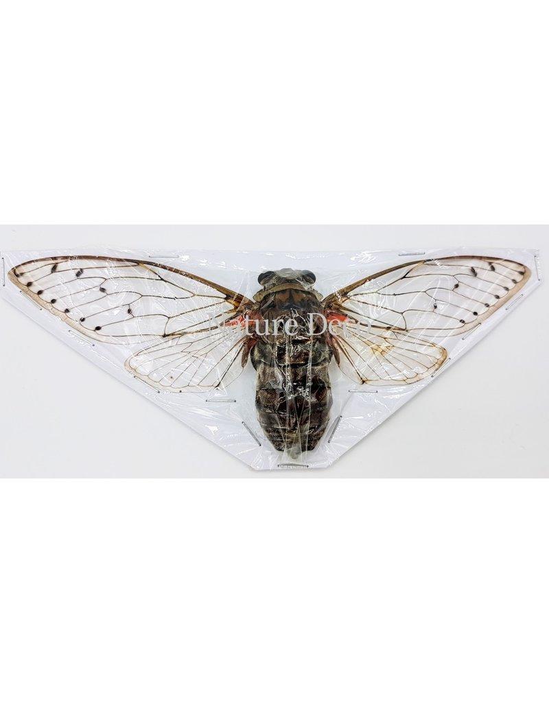 . (On)geprepareerde Pomponia Intermedia (cicade)
