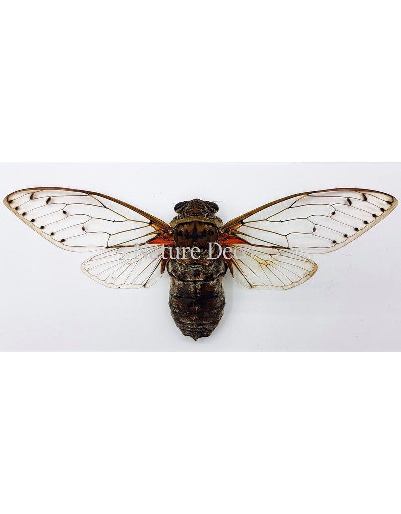. (Un)mounted Pomponia Intermedia (cicada)