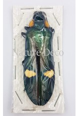 . Ongeprepareerde Megaloxantha Bicolor