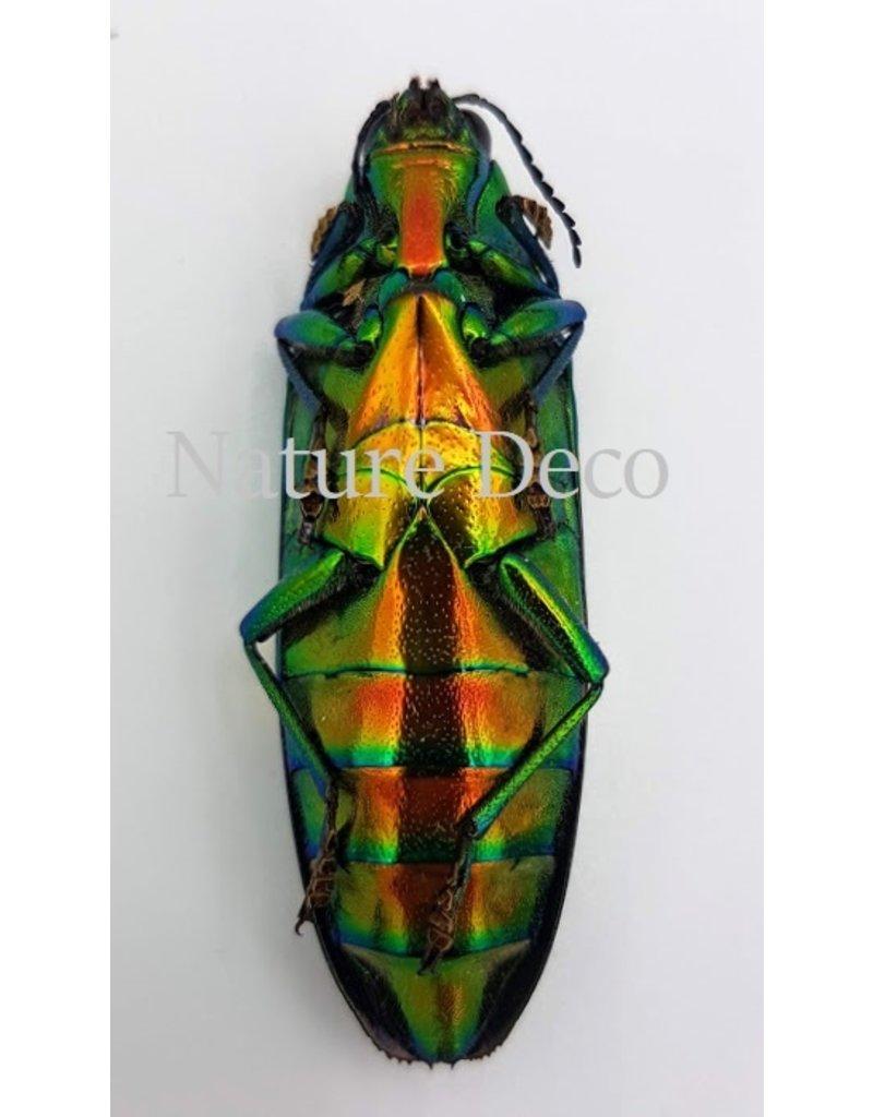 . Unmounted  Chrysochroa Saundersi