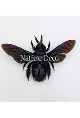 . (On)geprepareerde Xylocopa Latipes