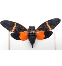 . (On)geprepareerde Tosena paviei (cicade)