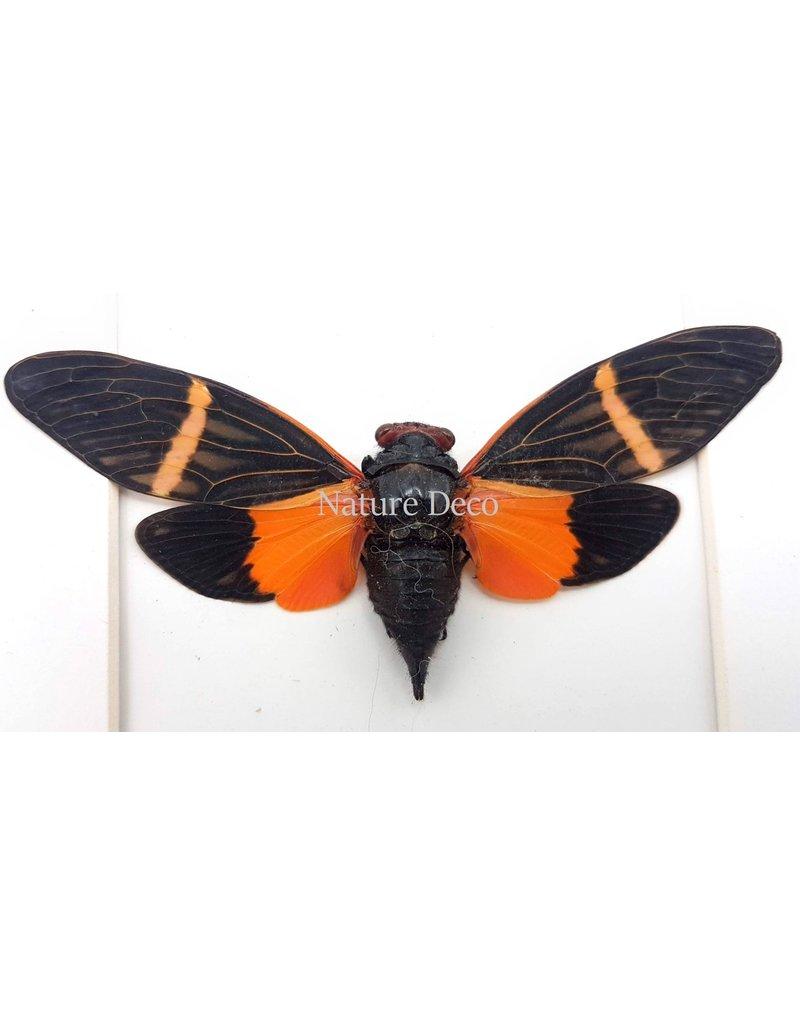 . (Un)mounted Tosena paviei (cicada)
