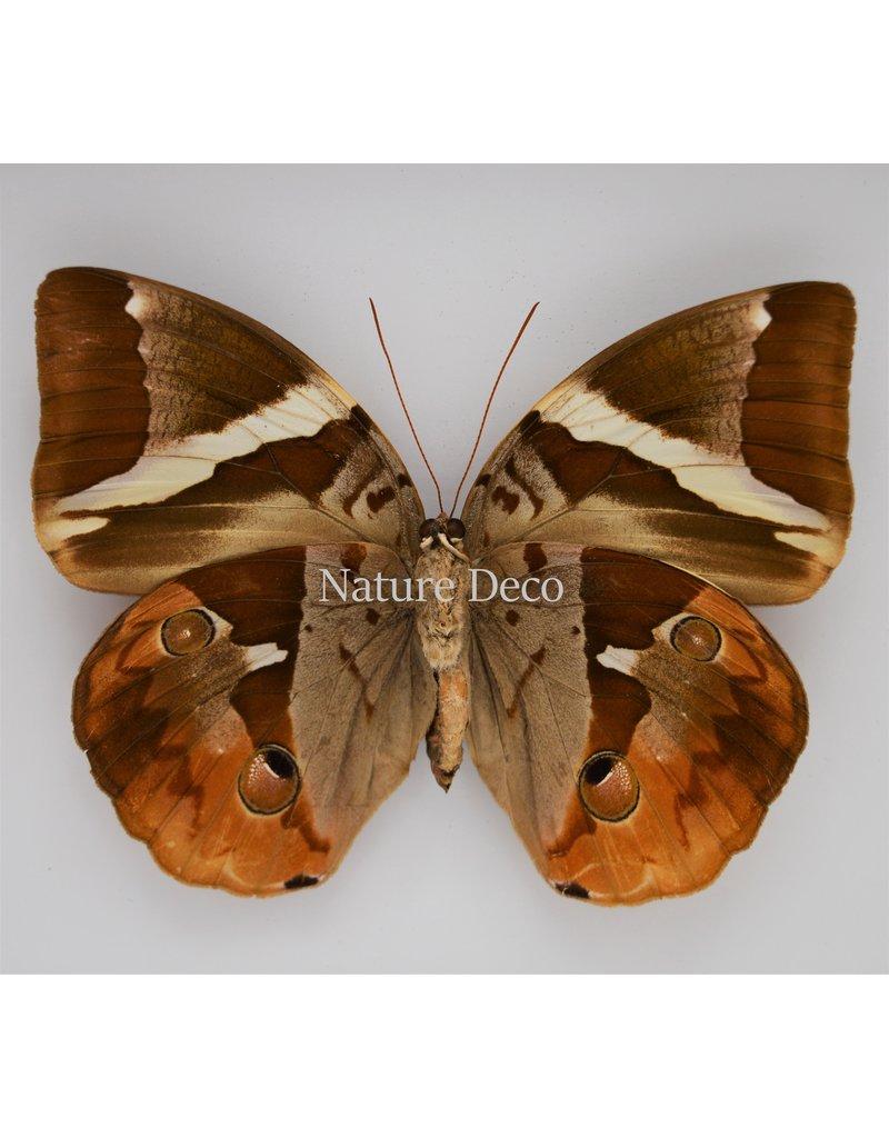 Nature Deco Thauria Aliris Aliris in luxe 3D lijst