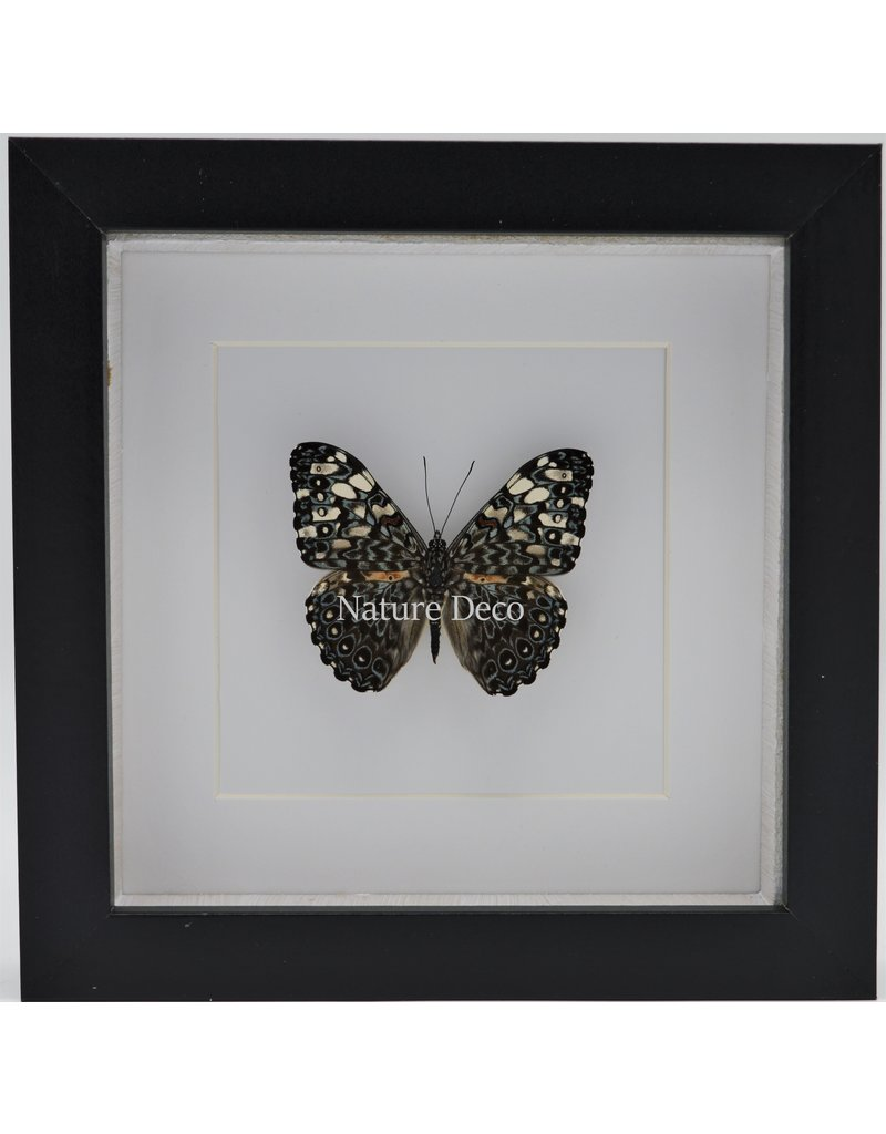 Nature Deco Hamadryas Iphthime In luxury 3D frame