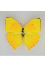 Nature Deco Phoebis Rurina in luxe 3D lijst