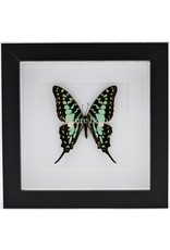 Nature Deco Graphium Antheus in luxury 3D frame