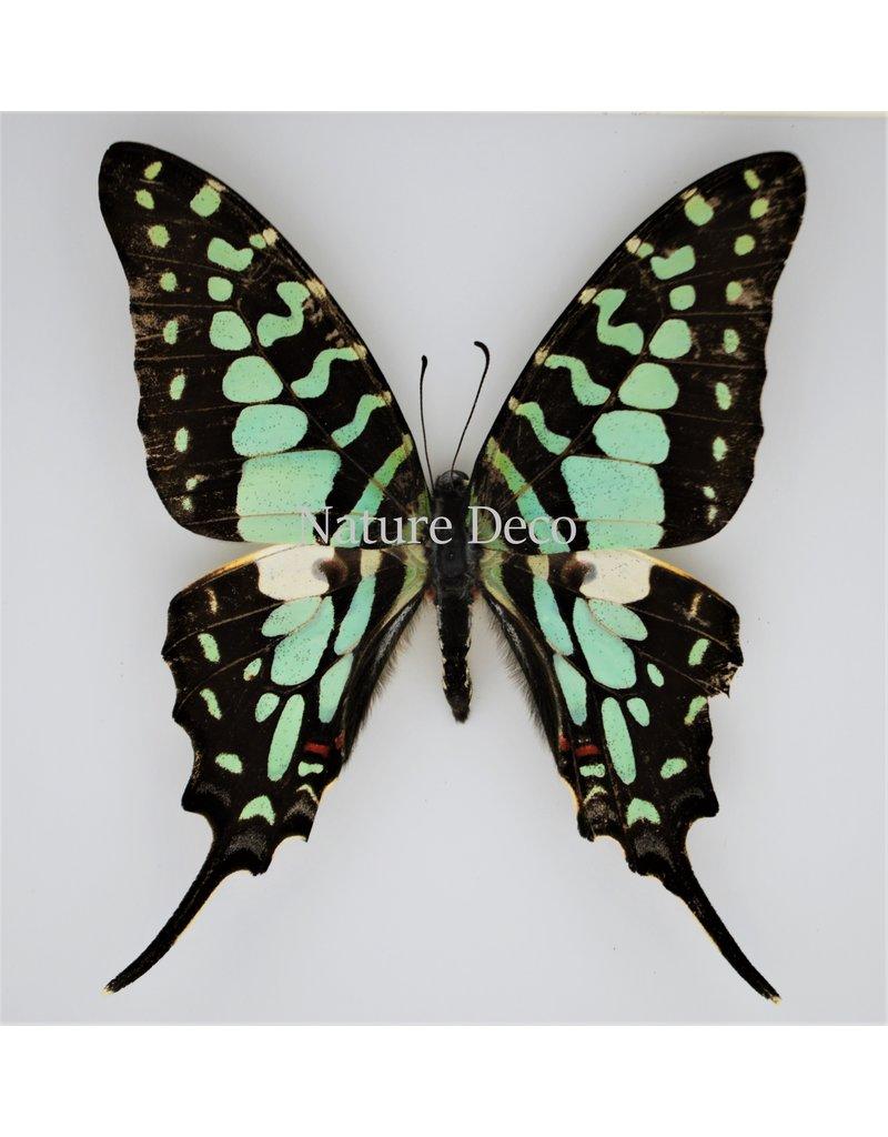Nature Deco Graphium Antheus in luxe 3D lijst