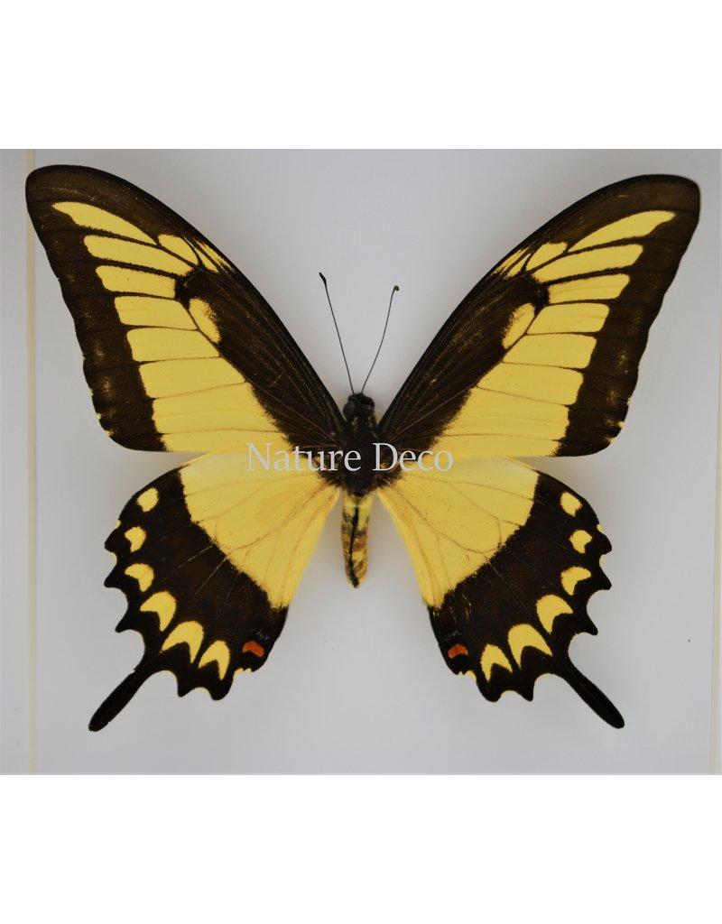 Nature Deco Papilio Lycophron in luxe 3D lijst