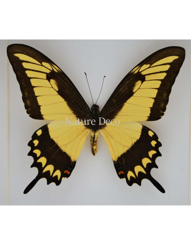 Nature Deco Papilio Lycophron in luxury 3D frame