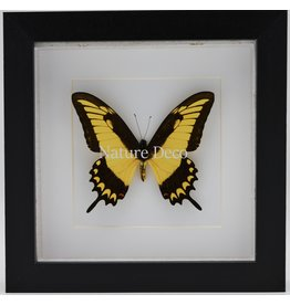 Nature Deco Papilio Lycophron in luxe 3D lijst