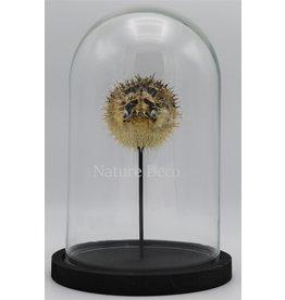 Nature Deco Pufferfish in glass dome