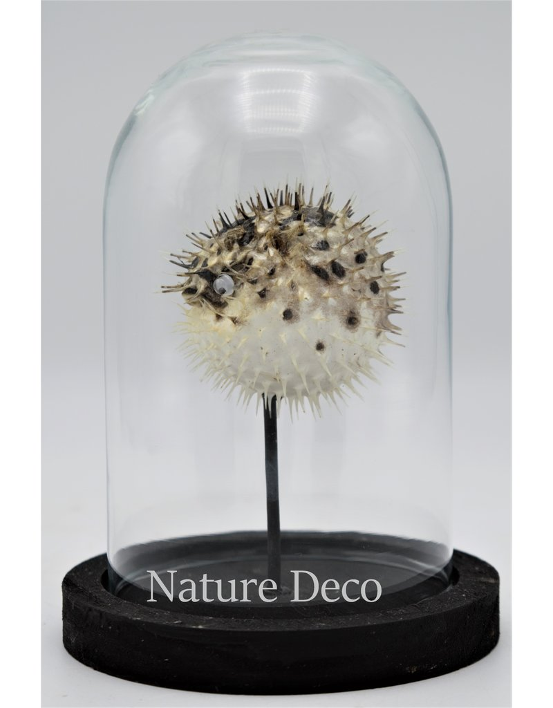 Nature Deco Pufferfish in glass dome small 14 x 10cm