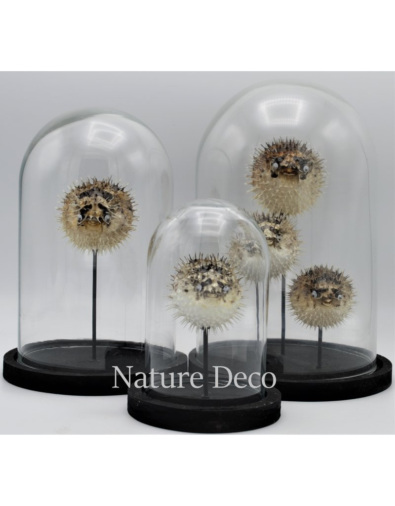 Nature Deco Pufferfishes in glass dome 17 x 24,5cm