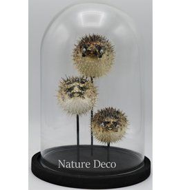 Nature Deco Pufferfishes in glass dome