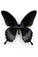 . Ongeprepareerde Papilio Lowi