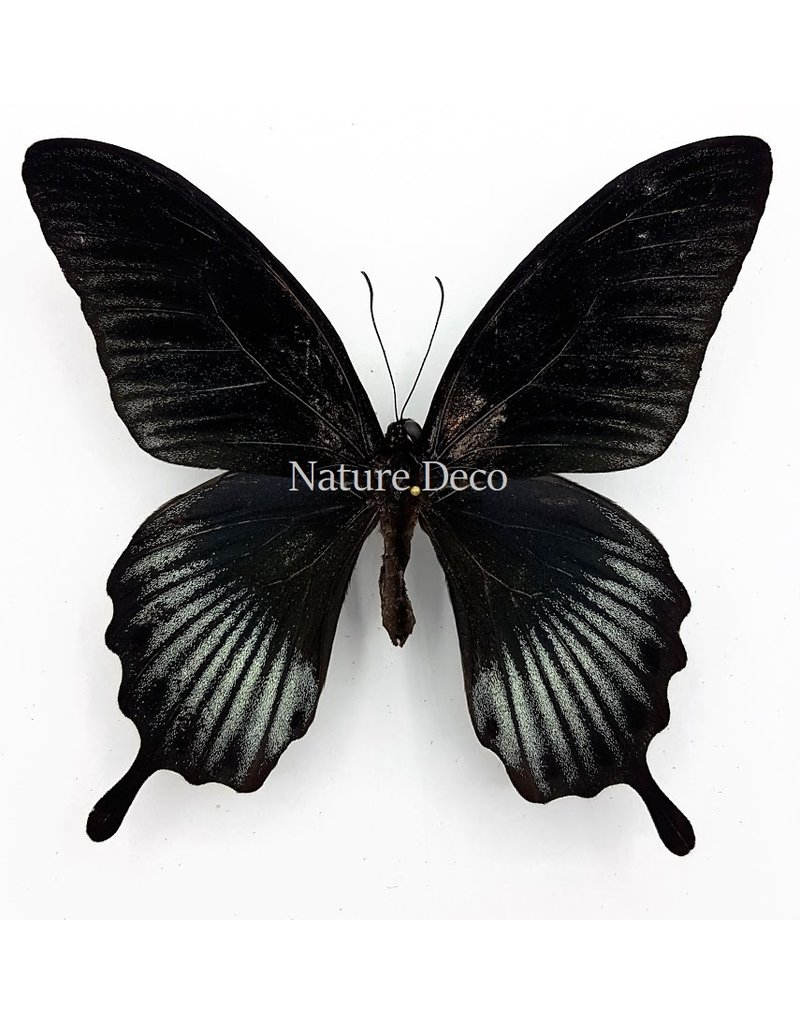. Unmounted Papilio Lowi