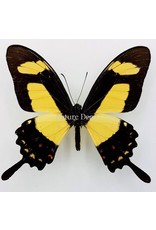. Ongeprepareerde Papilio Torquatus