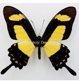 . Unmounted Papilio Torquatus