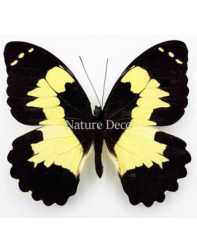 . Unmounted Papilio Euchenor