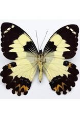 . Ongeprepareerde Papilio Euchenor