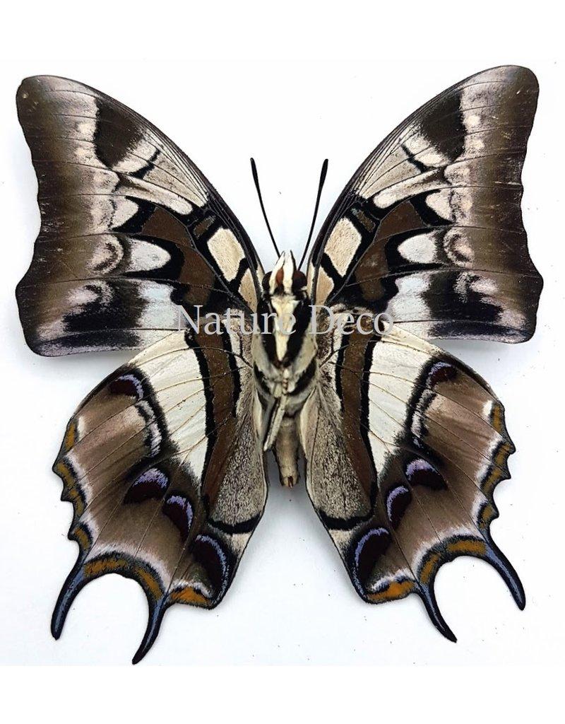 . Unmounted Polyura Cognatus