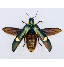 . Unmounted Megaloxantha Bicolor