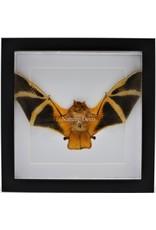 Nature Deco Kerivoula Picta (vleermuis) in luxe 3D lijst 22 x 22cm