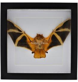 Nature Deco Kerivoula Picta (vleermuis) in luxe 3D lijst