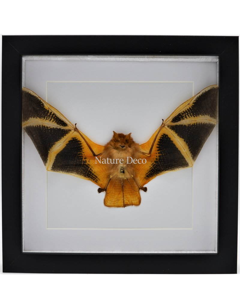 Nature Deco Kerivoula Picta (bat) in luxury 3D frame 22 x 22cm
