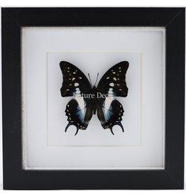 Nature Deco Polyura Cognatus in luxe 3D lijst