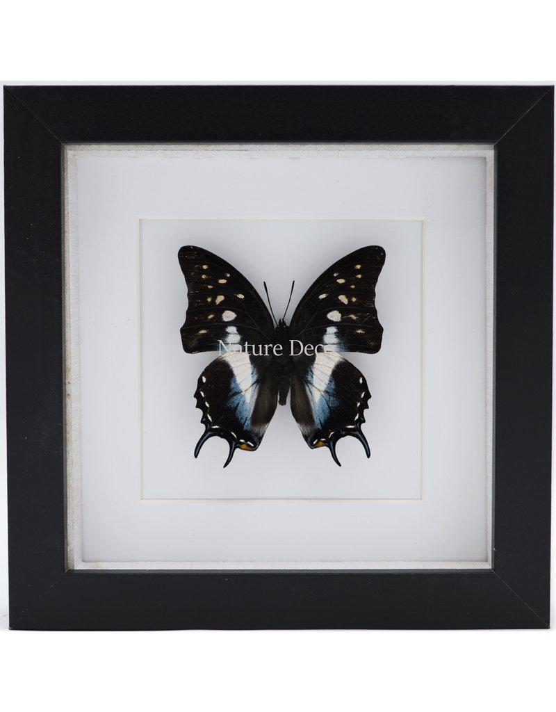 Nature Deco Polyura Cognatus in luxe 3D lijst 17 x 17cm