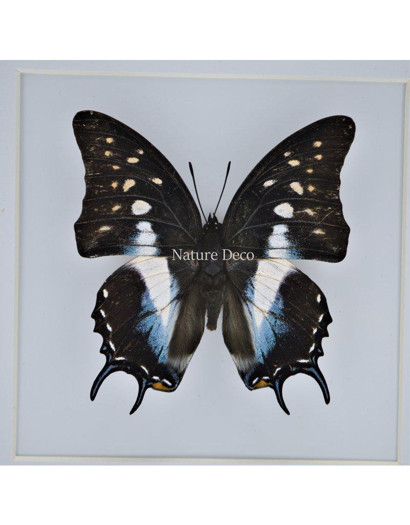 Nature Deco Polyura Cognatus in luxury 3D frame 17 x 17cm