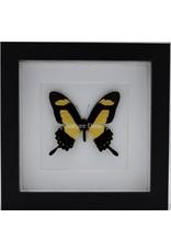 Nature Deco Papilio Torquatus in luxe 3D lijst 17 x 17cm