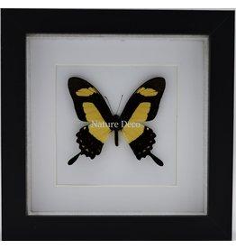 Nature Deco Papilio Torquatus in luxury 3D frame