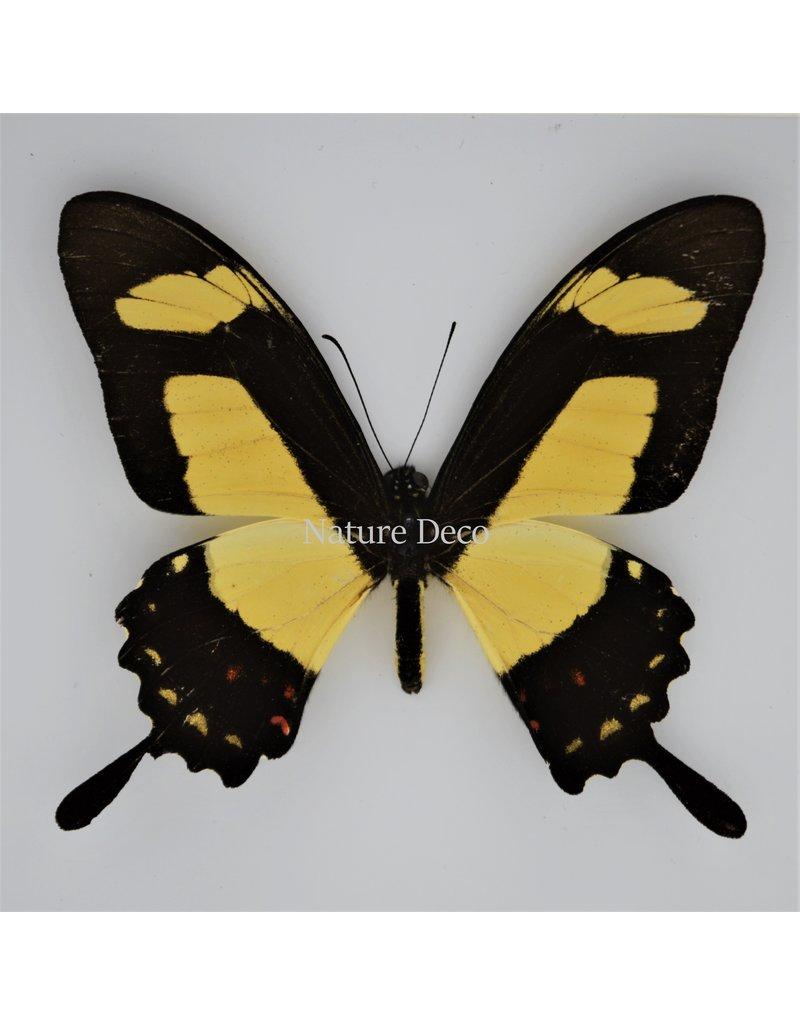 Nature Deco Papilio Torquatus in luxury 3D frame 17 x 17cm