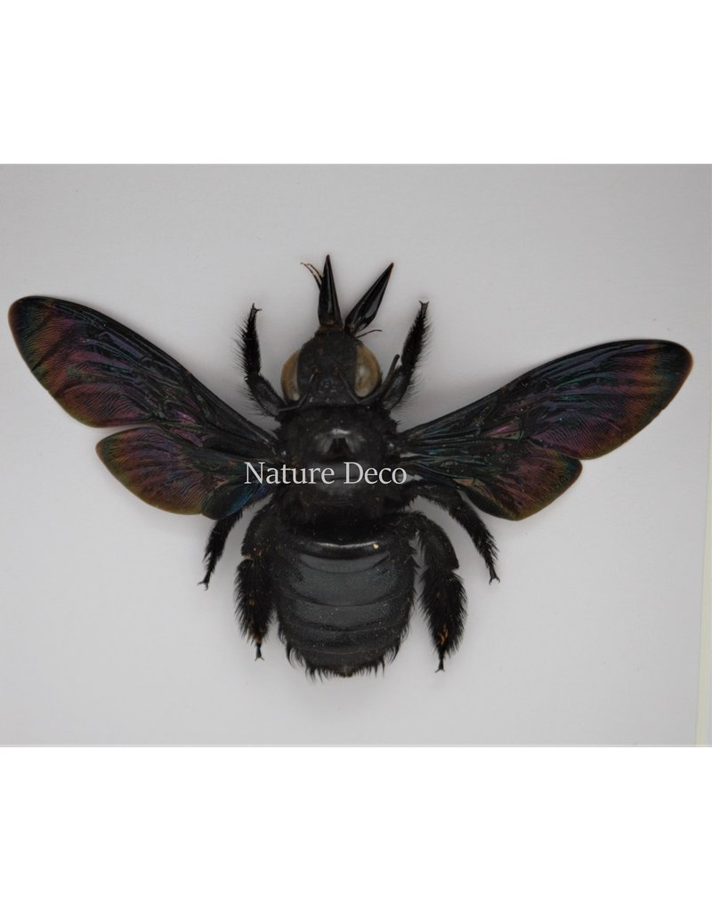 Nature Deco Black bee (Xylocopa Latipes) in luxury 3D frame