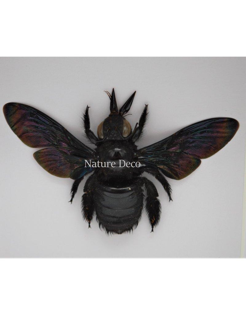 Nature Deco Zwarte bij (Xylocopa Latipes) in luxe 3D lijst  12 x 12cm