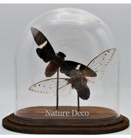 Nature Deco Cicada in glass dome  oval