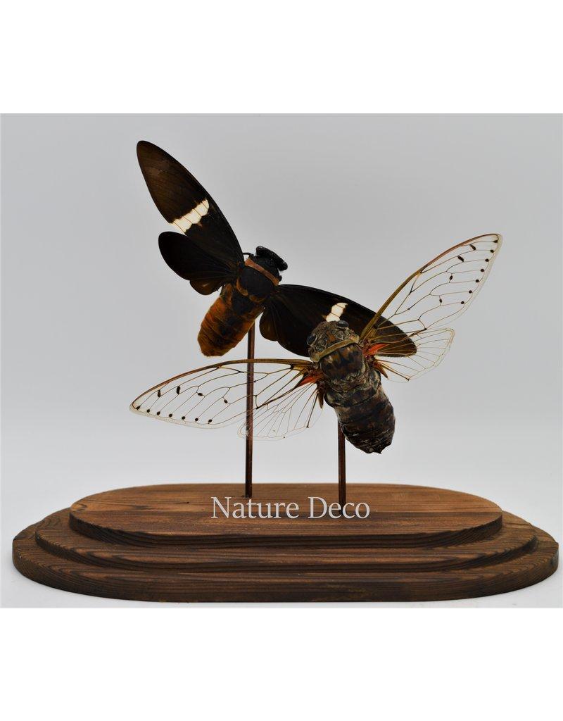 Nature Deco Cicada in glass dome  oval 18x11x20cm