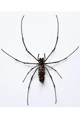. Ongeprepareerde Nephila Maculata