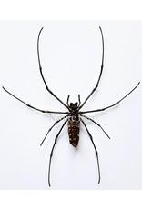 . Unmounted Nephila Maculata