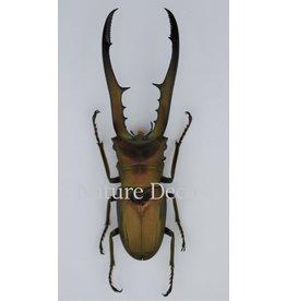 . (Un)mounted Cyclommatus Metallifer finae